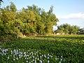 06339jfBarangay Eichhornia Flowers Pansinao Candaba Mount Arayat Pampanga Riverfvf 28.JPG