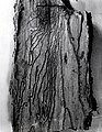 1956. Pseudohylesinus granulatus egg gallery and larval mines in Pacific silver fir. Photo taken at Sellwood Lab, Portland, Oregon. (34042534893).jpg