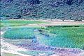 1969 - Trên tuyến QL1A phía nam Phú Tài - Ngô được tưới nước theo cách truyền thống - 2 người với một giỏ nước trên một sợi dây thừng, (9677374769).jpg