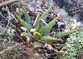 1 Haworthia mirabilis - Bredasdorp.jpg
