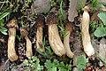 2007-12-20 Morchella Dill. ex Pers 9472.jpg