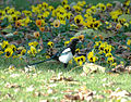 2009-10-25 1 (25) Magpie, Elster, Pica pica.JPG