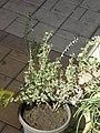 2010. Выставка цветов в Донецке на день города 85.jpg