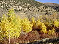 2012-10-17 509 Aspens in Lamoille Canyon.jpg