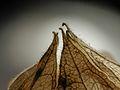 2012-11-15 11-30-00-physalis-25f.jpg