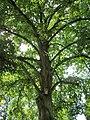 20120821Linde Friedhof Hockenheim5.jpg
