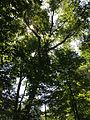 2013-08-25 12 02 50 View into the canopy towards some Paper Birches near 50 Ridge Road at Spring Lake in Berlin, New York.jpg