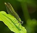 2013.07.13.-04-Anglersee-Bruehl-Gebaenderte Prachtlibelle-Weibchen.jpg