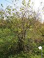 20131118Rhamnus cathartica1.jpg