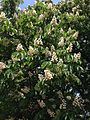 2014-05-15 13 53 21 Horse-chestnut tree blossoms within Riverview Cemetary in Trenton, New Jersey.JPG
