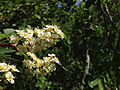 2014-06-23 14 35 47 Chokecherry blossoms along the Changing Canyon Nature Trail in Lamoille Canyon, Nevada.JPG