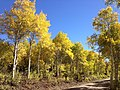 2014-10-04 13 55 02 View of Aspens during autumn leaf coloration along Charleston-Jarbidge Road (Elko County Route 748) in Copper Basin about 10.5 miles north of Charleston, Nevada.jpg