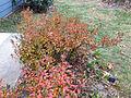 2014-12-20 13 15 36 Azalea cultivar 'Rosebud' during early winter along Terrace Boulevard in Ewing, New Jersey.JPG