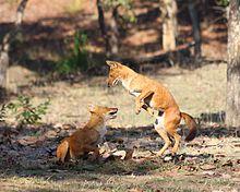 Cuon nell'atto di giocare, Pench Tiger Reserve.