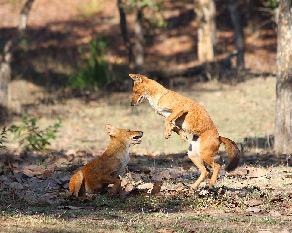 20140303 7687 Pench Dhole
