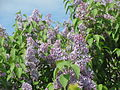 20140410Syringa vulgaris1.jpg