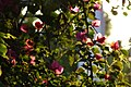 2015-03-16 Bougainvillaea in Lumbini(Sri Lanka temple)ルンビニ・スリランカ寺 DSCF1318.jpg
