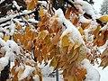 2015-11-02 10 32 35 Snow on a Cherry's autumn foliage along Brockway Road in Truckee, California.jpg