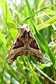 20150913 - 15.12 Agaatvlinder (Phlogophora meticulosa) 1.jpg