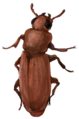 201510 Red flour beetle.png