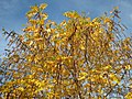 20151105Pterocarya fraxinifolia3.jpg