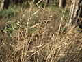 20151227Agrostis capillaris2.jpg