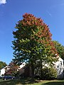 2017-10-10 13 01 51 Red Maple showing partial autumn foliage coloration along Lady Bank Lane in the Chantilly Highlands section of Oak Hill, Fairfax County, Virginia.jpg