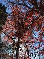 2017-11-23 13 09 31 View up into the canopy of several trees during late autumn along Stone Heather Drive near Stone Heather Court in the Franklin Farm section of Oak Hill, Fairfax County, Virginia.jpg