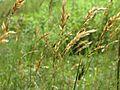 20170610Anthoxanthum odoratum2.jpg