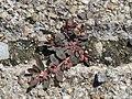 20170822Euphorbia maculata18.jpg