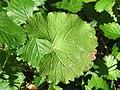 20170921Alliaria petiolata1.jpg