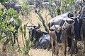 2017 Wildebeest migration Kenya 05.jpg