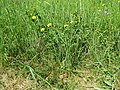 2018-05-13 (169) Lotus corniculatus (bird's-foot trefoil) at Bichlhäusl in Frankenfels, Austria.jpg
