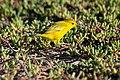 20180805-Yellow Warbler at Seymour Norte-8 (9300).jpg