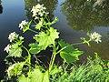 20200425Alliaria petiolata.jpg
