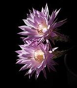 20200812 EchinopsisOxygona DSC03461 PtrQs.jpg