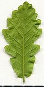 2020 year. Herbarium. Oak. img-018.jpg