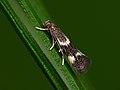 38.036 BF606 Elachista humilis, female (7227695546).jpg
