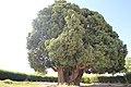 4,000-year-old Iranian cypress (6223659610).jpg