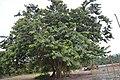 40 years of tree.jpg