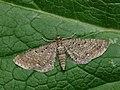 70.177 BF1828 Satyr Pug, Eupithecia satyrata (2633709592).jpg