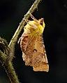 70.234 BF1913 Canary-shouldered Thorn, Ennomos alniaria (9467833508).jpg