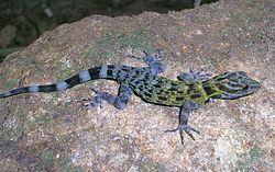 A Cnemaspis gecko from the Shendurney Hills.JPG