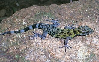 Cnemaspis - Another unidentified Cnemaspis gecko from the Shendurney Wildlife Sanctuary, Kerala