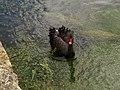 A Regal Bird on the River Coln, Bibury - geograph.org.uk - 955708.jpg