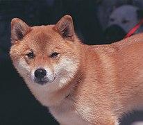 Coat (dog) - Wikipedia