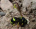 A Wasp Eating Dirt (9136710024).jpg