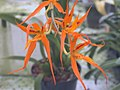 A and B Larsen orchids - Brassada Orange Delight DSCN0630.JPG