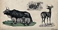 A bison and two deer shown in their natural habitat. Coloure Wellcome V0020795.jpg