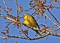 A bruant jaune 2 DSC 3105 (51097503810).jpg